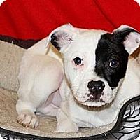 Adopt A Pet :: Peyton - Westbrook, CT