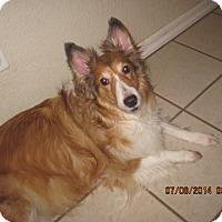Adopt A Pet :: Shaylee - apache junction, AZ