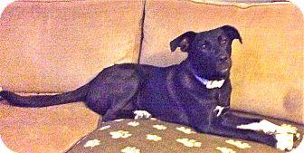 Labrador Retriever/Border Collie Mix Dog for adoption in Norwich, Connecticut - Onyx