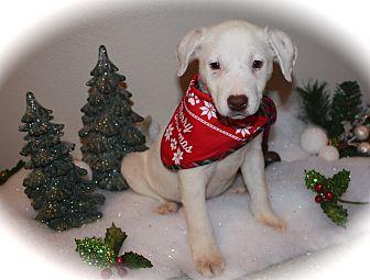 Labrador Retriever/Shepherd (Unknown Type) Mix Puppy for adoption in San Diego, California - Sadie