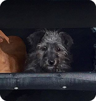 Yorkie, Yorkshire Terrier/Poodle (Miniature) Mix Puppy for adoption in Beverly Hills, California - Marika Cheri