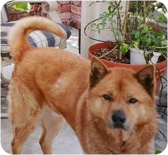 Jindo/Shiba Inu Mix Dog for adoption in Southern California, California - JJ