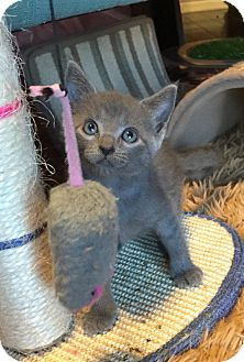Russian Blue Kitten for adoption in Fort Worth, Texas - Clover