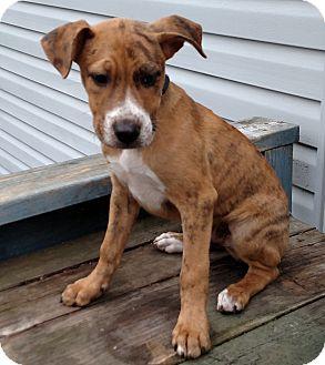 Catahoula Leopard Dog Puppy for adoption in Warren, Maine - Serrano - MA