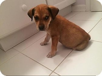 Shepherd (Unknown Type)/Terrier (Unknown Type, Small) Mix Puppy for adoption in Hainesville, Illinois - Monica