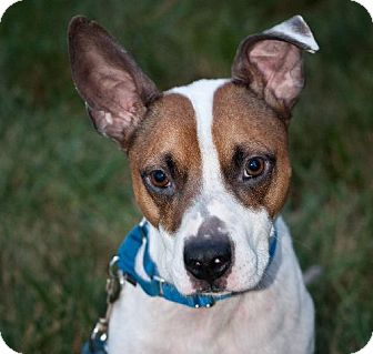 Jack Russell Terrier Mix Dog for adoption in Lansing, Kansas - George