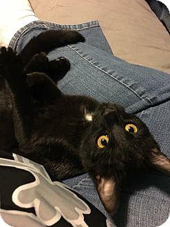 Domestic Shorthair Kitten for adoption in LaGrange, Kentucky - Morticia