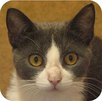 Domestic Shorthair Cat for adoption in Ithaca, New York - Brie