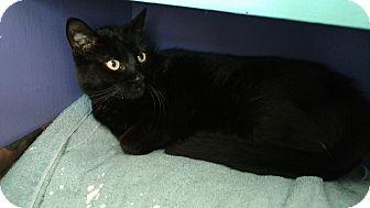 Domestic Shorthair Cat for adoption in Hanna City, Illinois - Domino