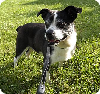 Boston Terrier Mix Dog for adoption in Orland Park, Illinois - Diggle