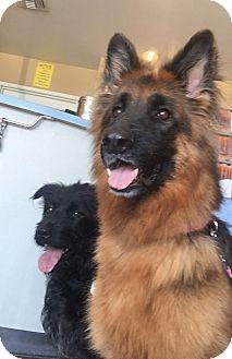 German Shepherd Dog Dog for adoption in Los Angeles, California - SKASHA