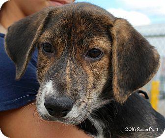 Shepherd (Unknown Type)/Hound (Unknown Type) Mix Puppy for adoption in Bedford, Virginia - Buster