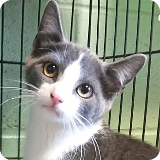Domestic Shorthair Kitten for adoption in Union, New Jersey - Parker