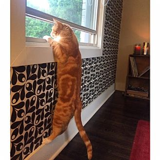 Domestic Shorthair Cat for adoption in Nashville, Tennessee - Lanny