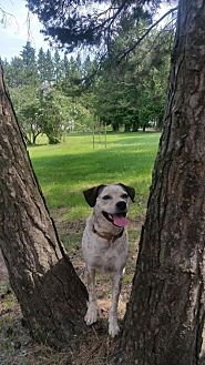 Cattle Dog/American Bulldog Mix Dog for adoption in Toronto, Ontario - Hank