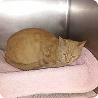 Domestic Shorthair Cat for adoption in Columbia, Kentucky - butterscotch