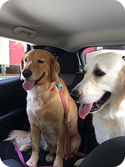 Golden Retriever Dog for adoption in Murdock, Florida - Amy and Anna