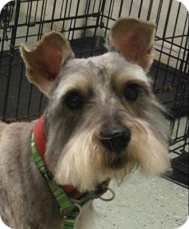 Schnauzer (Miniature) Mix Dog for adoption in Harrisonburg, Virginia - Piper