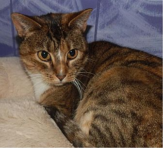 British Shorthair Cat for adoption in Holden, Missouri - Ericka