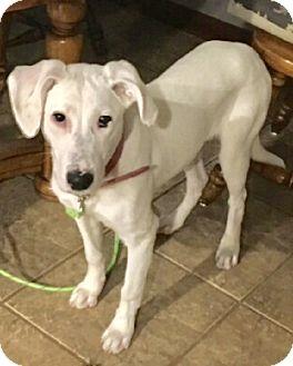 Labrador Retriever/Terrier (Unknown Type, Medium) Mix Puppy for adoption in Glastonbury, Connecticut - Ivy