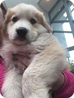 German Shepherd Dog/Husky Mix Puppy for adoption in Sugar Grove, Illinois - Tango