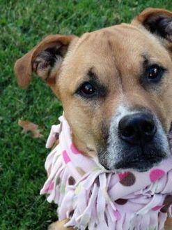 Boxer Mix Dog for adoption in Ashtabula, Ohio - Twyla