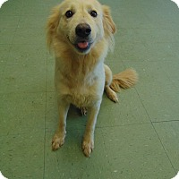 Golden Retriever Mix Dog for adoption in Cleveland, Mississippi - DAISY