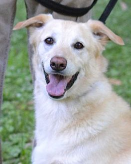 Golden Retriever/Labrador Retriever Mix Dog for adoption in Enfield, Connecticut - Zoe