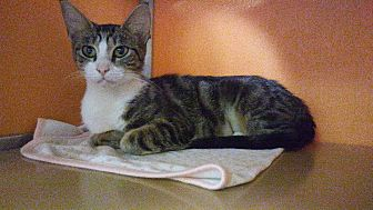 Domestic Shorthair Cat for adoption in Elyria, Ohio - Healy