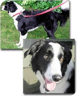 Border Collie Dog for adoption in Stephentown, New York - Zoe
