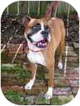 Boxer Dog for adoption in Tallahassee, Florida - Darielle