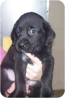 Labrador Retriever Mix Puppy for adoption in Osceola, Arkansas - Duce