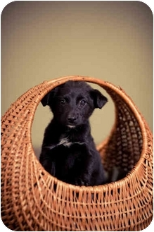 Chihuahua/Jack Russell Terrier Mix Puppy for adoption in Portland, Oregon - Aubrey