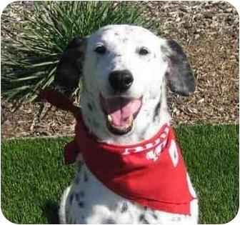 Dalmatian Mix Dog for adoption in San Diego, California - Oreo