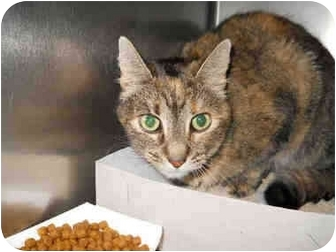 Domestic Shorthair Cat for adoption in San Clemente, California - HERMOSA