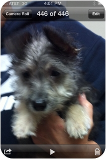 Yorkie, Yorkshire Terrier/Schnauzer (Miniature) Mix Puppy for adoption in El Segundo, California - Madonna