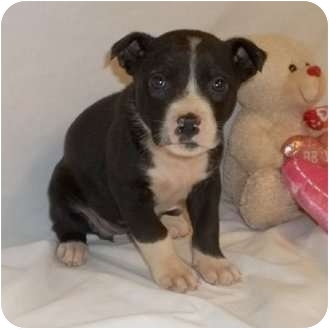 American Bulldog Mix Puppy for adoption in Bel Air, Maryland - Ellen