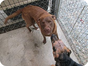 Labrador Retriever Mix Dog for adoption in Henderson, North Carolina - Isis