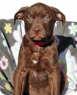 Labrador Retriever Mix Puppy for adoption in Howell, Michigan - Electra