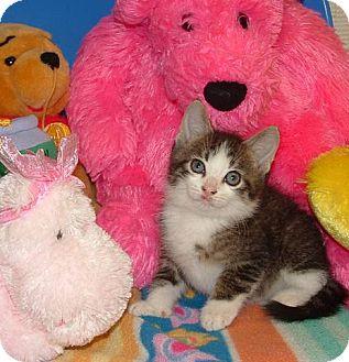 Maine Coon Kitten for adoption in Cincinnati, Ohio - Bowie: 9 weeks