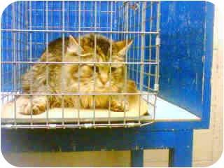 Maine Coon Cat for adoption in New York, New York - Lucky