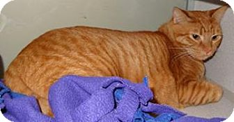 Domestic Shorthair Cat for adoption in Houston, Texas - Poppy