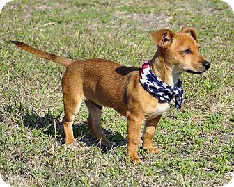 Dachshund Mix Dog for adoption in Corpus Christi, Texas - Tony