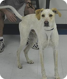 Labrador Retriever Mix Dog for adoption in Windsor Heights, West Virginia - Bernie
