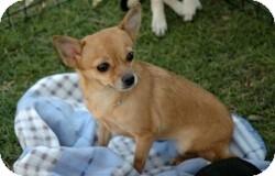 Chihuahua Mix Dog for adoption in Mesa, Arizona - Chloe