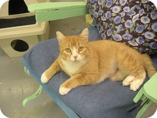 Domestic Mediumhair Cat for adoption in Fort Benton, Montana - Alani