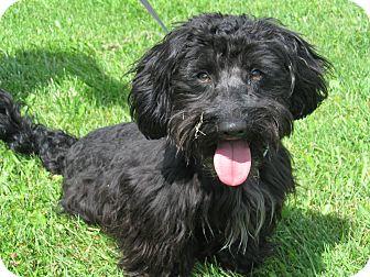 Scottie, Scottish Terrier/Terrier (Unknown Type, Small) Mix Dog for adoption in Tumwater, Washington - Albert