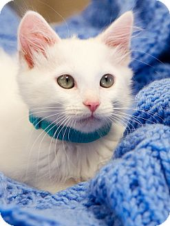 Domestic Shorthair Kitten for adoption in Chattanooga, Tennessee - Larry
