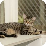 Domestic Shorthair Cat for adoption in Brooksville, Florida - Francis