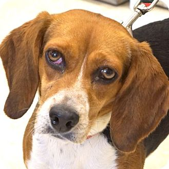 Beagle Mix Dog for adoption in Sprakers, New York - Paloma